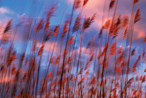 Barry-kissell-grasses-blowing-in-wind