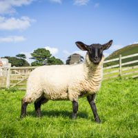A lamb at Lee Abbey